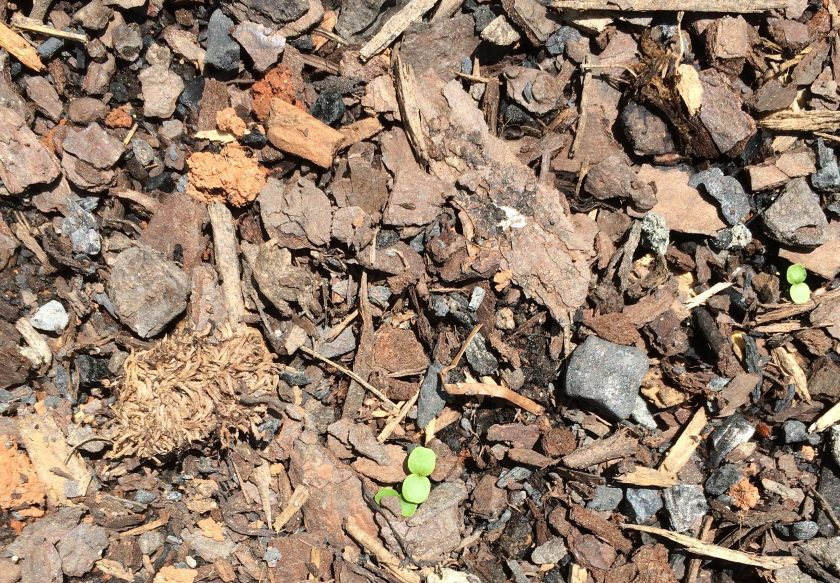 seeds sprouting