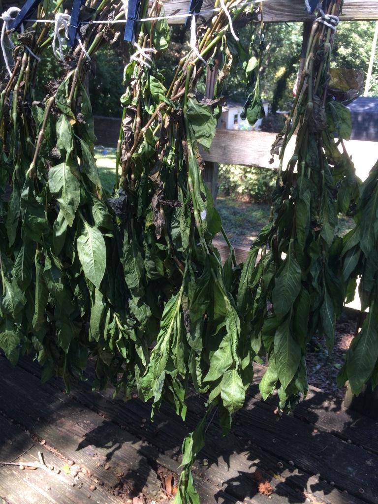 Indigo hanging to dry