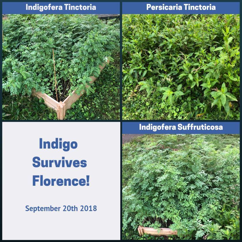 Indigo garden survives Florence